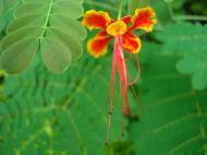 Asisbiz Tropical garden flowers Ayala Alabang Manila Philippines 32