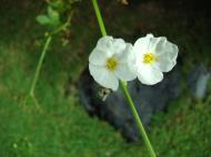 Asisbiz Tropical garden flowers Ayala Alabang Manila Philippines 38