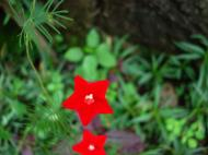 Asisbiz Tropical garden flowers Ayala Alabang Manila Philippines 46