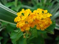 Asisbiz Tropical garden flowers Ayala Alabang Manila Philippines 47