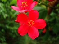 Asisbiz Tropical garden flowers Ayala Alabang Manila Philippines 51