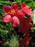Asisbiz Tropical garden flowers Ayala Alabang Manila Philippines 56