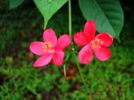 Asisbiz Tropical garden flowers Ayala Alabang Manila Philippines 57
