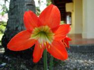 Asisbiz Tropical garden flowers Ayala Alabang Manila Philippines 66