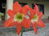 Asisbiz Tropical garden flowers Ayala Alabang Manila Philippines 69