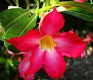 Asisbiz Tropical garden flowers Ayala Alabang Manila Philippines 73