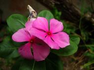 Asisbiz Tropical garden flowers Ayala Alabang Manila Philippines 84