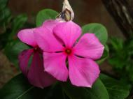 Asisbiz Tropical garden flowers Ayala Alabang Manila Philippines 85