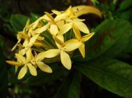 Asisbiz Tropical garden flowers Ayala Alabang Manila Philippines 87