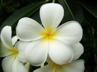 Asisbiz Tropical garden flowers Ayala Alabang Manila Philippines 97