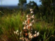 Asisbiz Australia Queensland native Grass 06