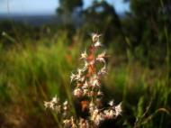 Asisbiz Australia Queensland native Grass 07
