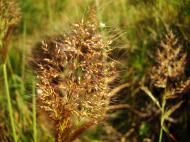 Asisbiz Australia Queensland native Grass 13