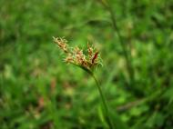 Asisbiz Philippines Native Grasses Puerto Gallera 07
