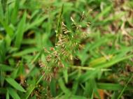Asisbiz Philippines Native Grasses Puerto Gallera 09