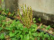 Asisbiz Philippines Native Grasses Puerto Gallera 14