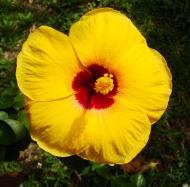 Asisbiz Hibiscus Mindoro Oriental Island Philippines 01