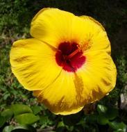 Asisbiz Hibiscus Mindoro Oriental Island Philippines 02