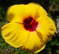 Asisbiz Hibiscus Mindoro Oriental Island Philippines 03