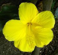 Asisbiz Hibiscus Mindoro Oriental Island Philippines 04