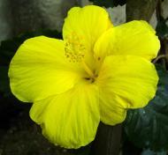 Asisbiz Hibiscus Mindoro Oriental Island Philippines 05