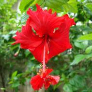 Asisbiz Hibiscus Mindoro Oriental Island Philippines 07