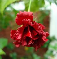 Asisbiz Hibiscus Mindoro Oriental Island Philippines 10
