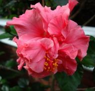 Asisbiz Hibiscus Mindoro Oriental Island Philippines 11