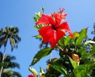 Asisbiz Hibiscus Mindoro Oriental Island Philippines 12