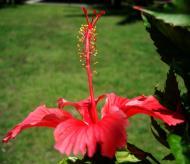 Asisbiz Hibiscus Mindoro Oriental Island Philippines 13