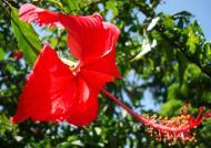 Asisbiz Hibiscus Mindoro Oriental Island Philippines 14