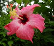 Asisbiz Hibiscus Mindoro Oriental Island Philippines 18