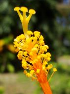 Asisbiz Hibiscus stem Mindoro Oriental Island Philippines 01