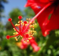 Asisbiz Hibiscus stem Mindoro Oriental Island Philippines 05