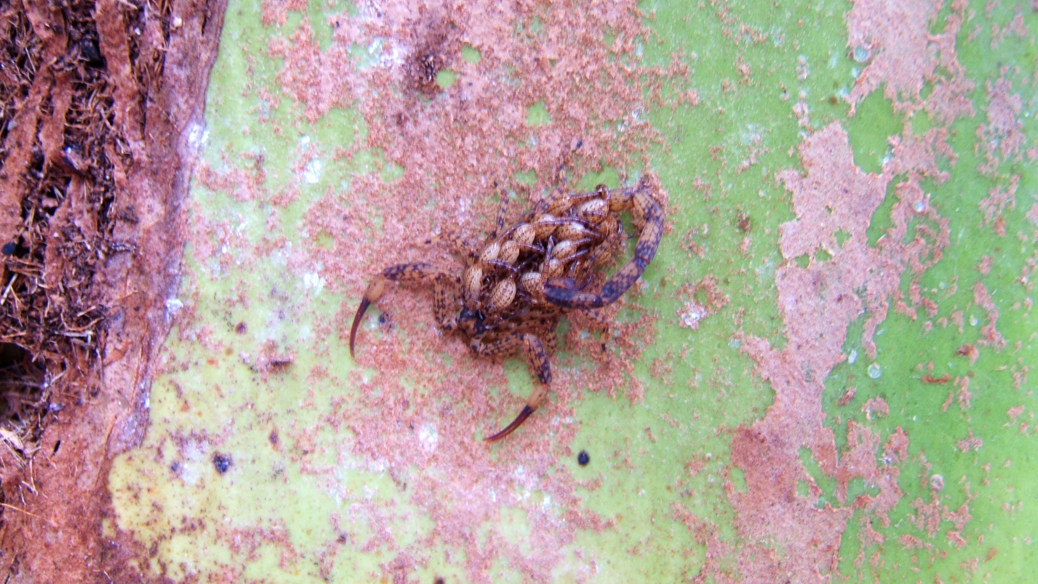 Asisbiz Scorpion with babies Philippines Mindoro Tabinay 01