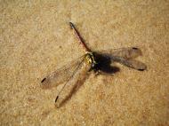 Asisbiz Australia Marcus Beach Dragonfly 01