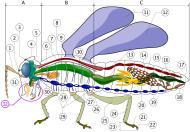 Asisbiz Insect Anatomy 01