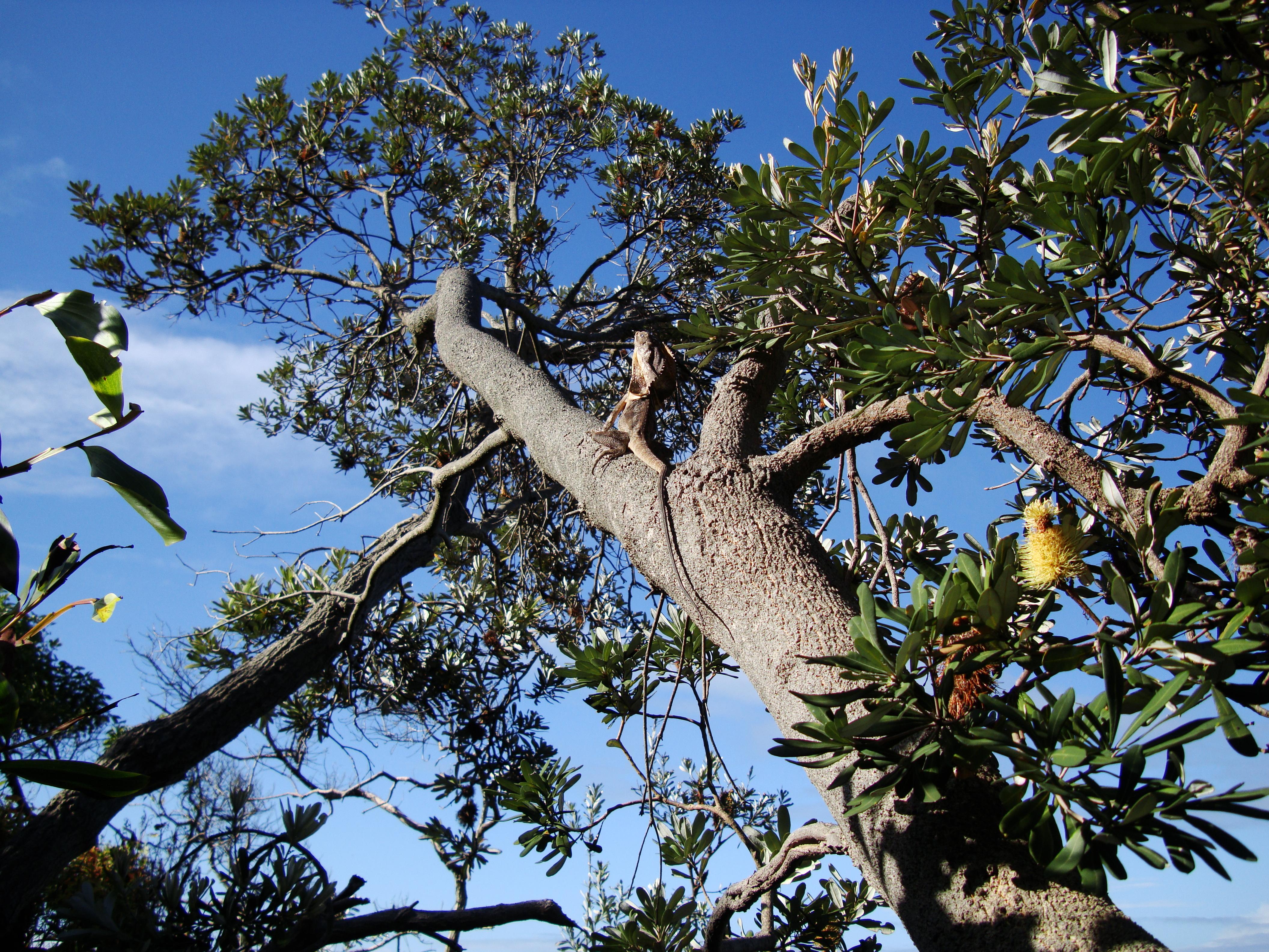 Australian Frilled Neck Lizard Chlamydosaurus kingii Noosa 07