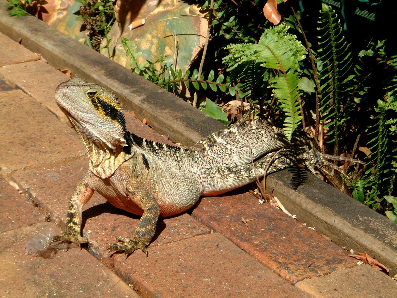 Australian Frilled Neck Lizard Chlamydosaurus kingii Noosa 11