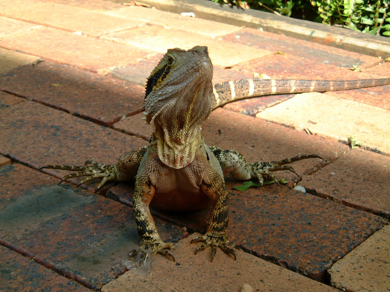 Australian Frilled Neck Lizard Chlamydosaurus kingii Noosa 14