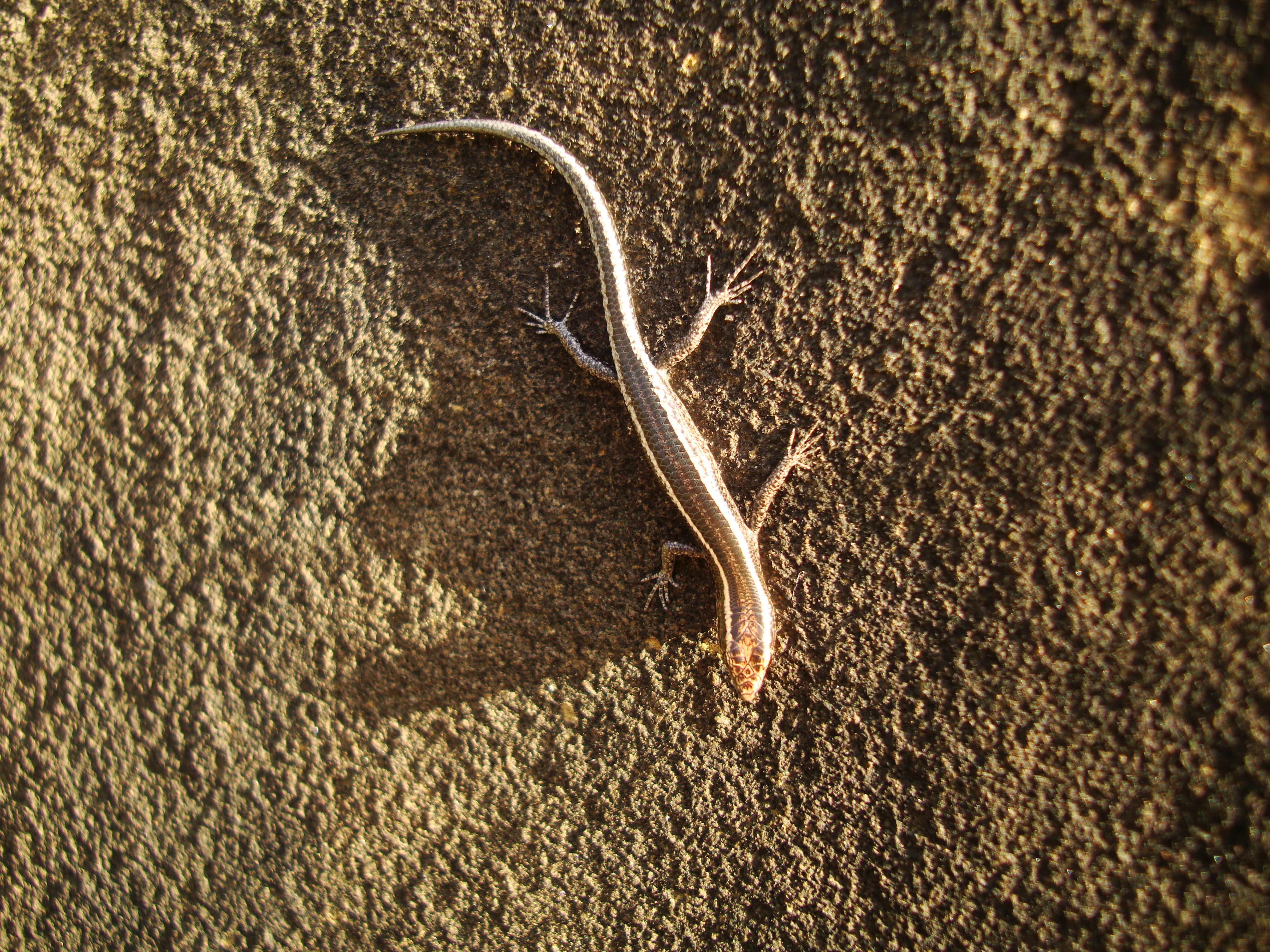 Australian Lizard Noosa 04