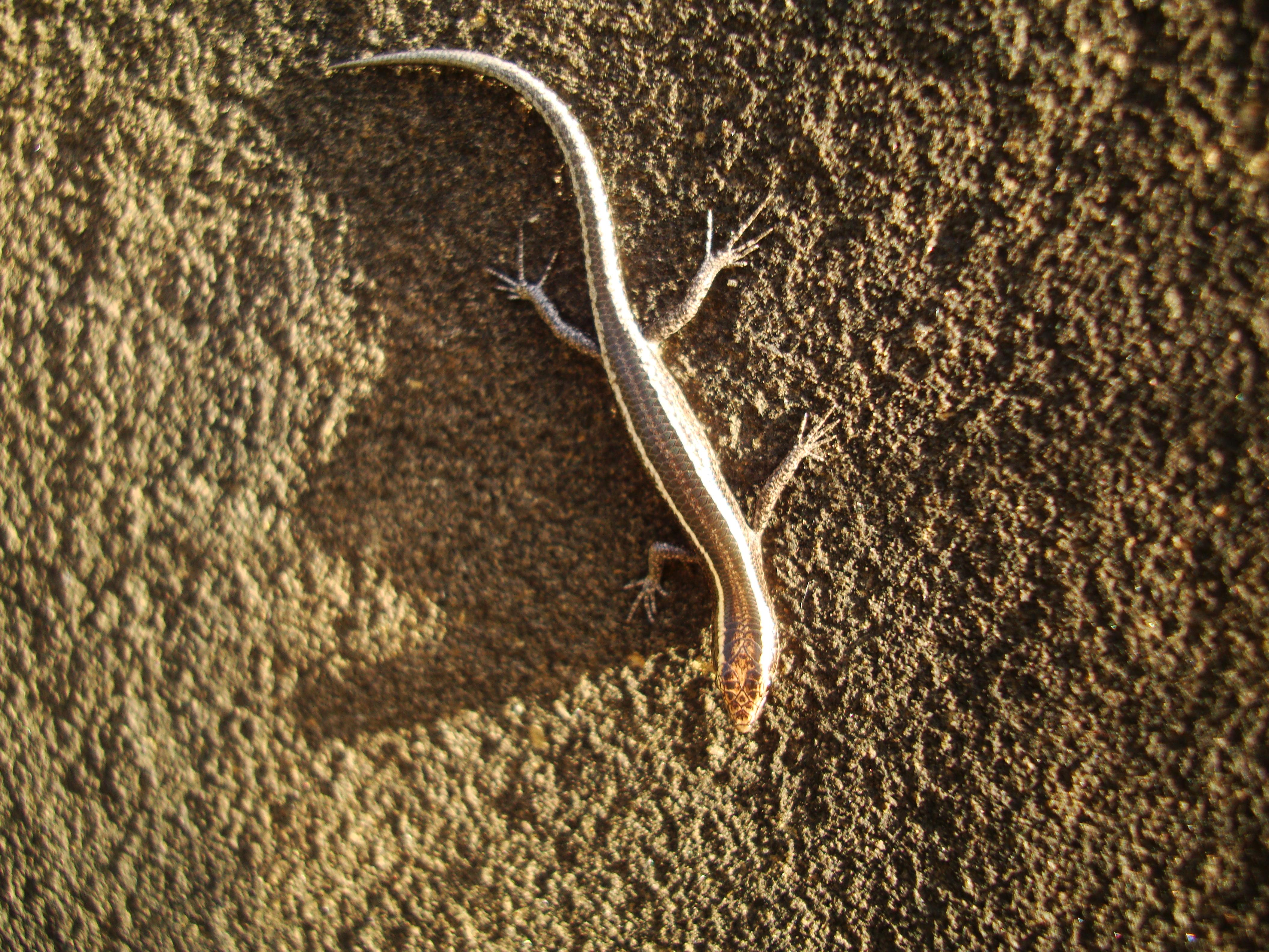 Australian Lizard Noosa 05