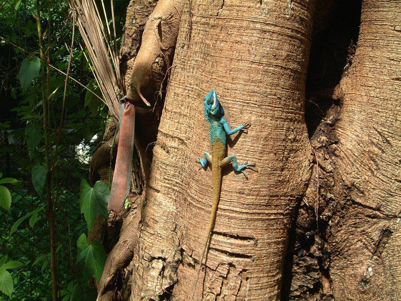 Lizard Myanmar Hmawbi 01
