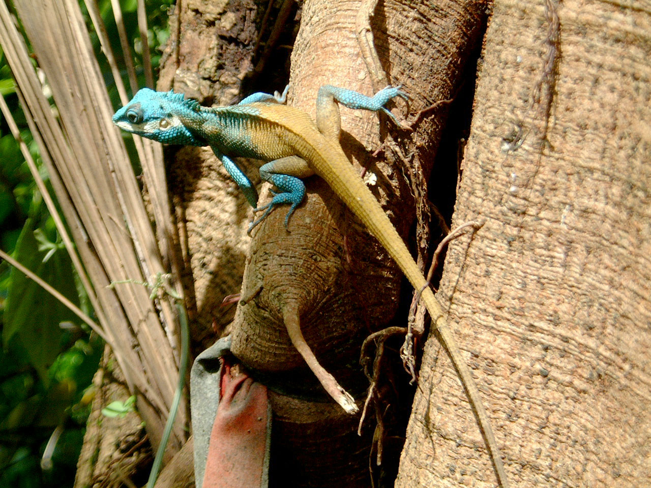 Lizard Myanmar Hmawbi 03