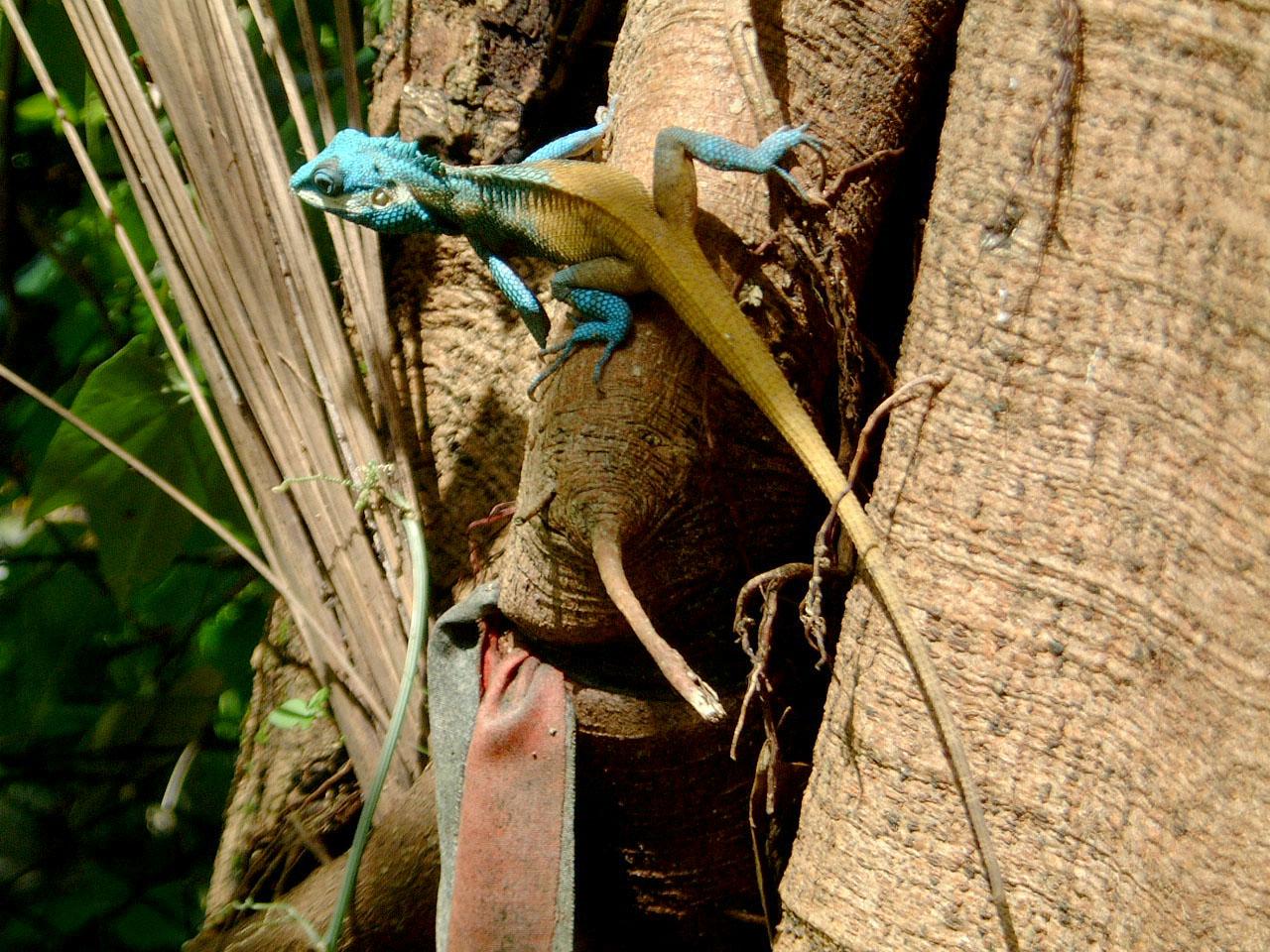 Lizard Myanmar Hmawbi 04