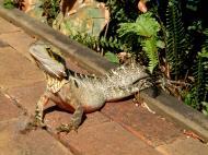 Asisbiz Australian Frilled Neck Lizard Chlamydosaurus kingii Noosa 11