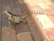 Asisbiz Australian Frilled Neck Lizard Chlamydosaurus kingii Noosa 13