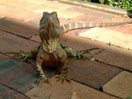 Asisbiz Australian Frilled Neck Lizard Chlamydosaurus kingii Noosa 15
