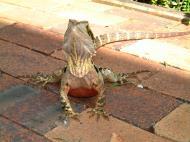 Asisbiz Australian Frilled Neck Lizard Chlamydosaurus kingii Noosa 16