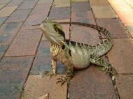 Asisbiz Australian Frilled Neck Lizard Chlamydosaurus kingii Noosa 17
